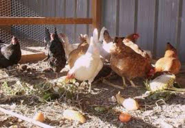 Какие корма заготовить для домашней птицы на зиму