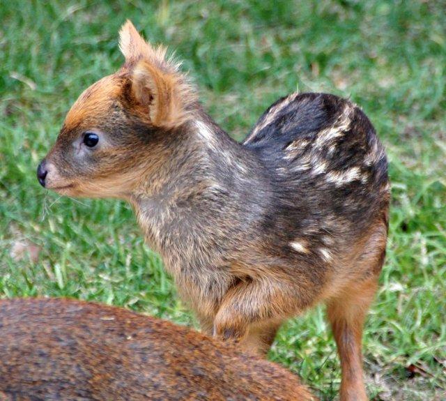 Самый крошечный олененок в мире недавно родился в США