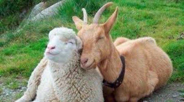 Особенности животноводства в январе. Овцы, козы