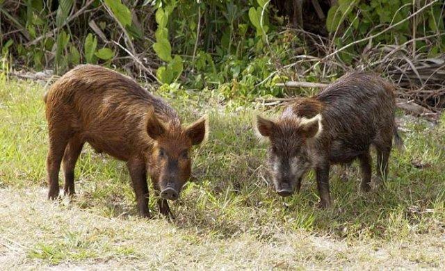 Свиньи - чистюли