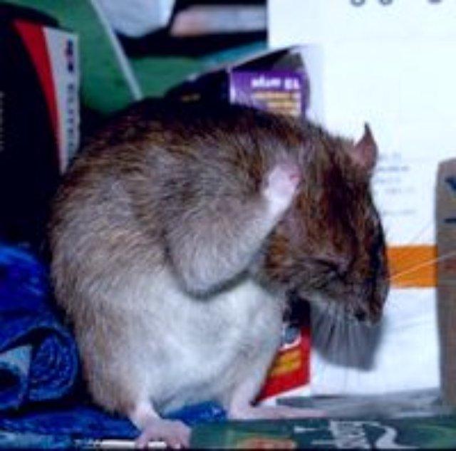 Ученые научились управлять крысами