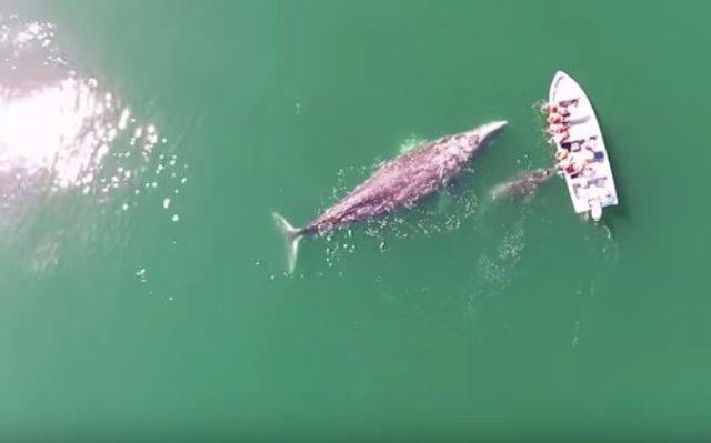 Около Калифорнии к одной из лодок подплыли серые киты