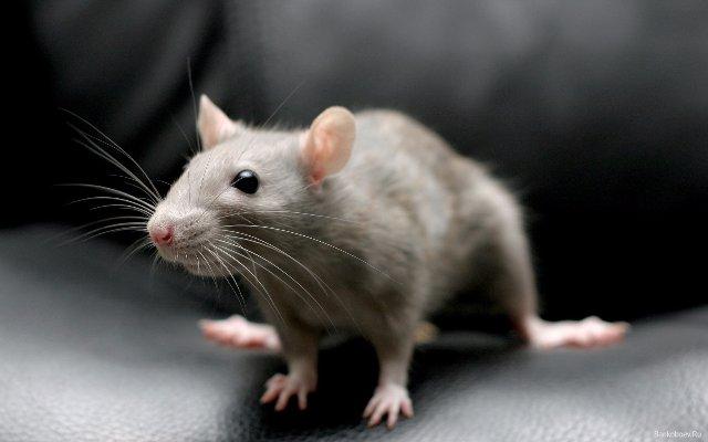 В Казани прошла выставка крыс и других животных