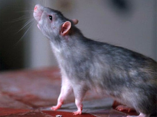 Киев: вероятность заражения от крыс возрастает