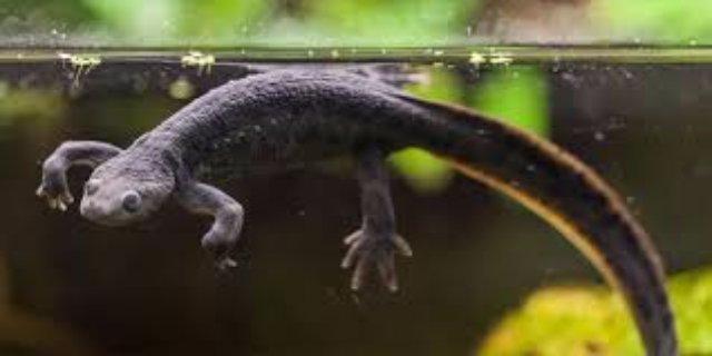 Тритон. Экзотический житель аквариума