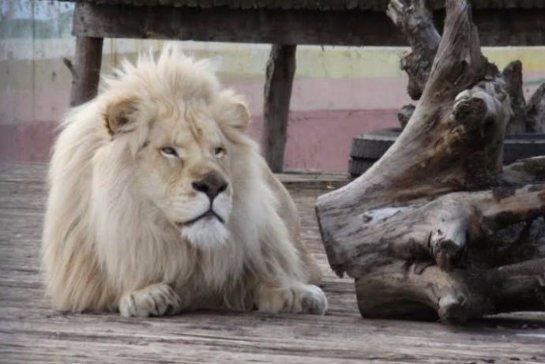 Ростовскому зоопарку подарили белого льва