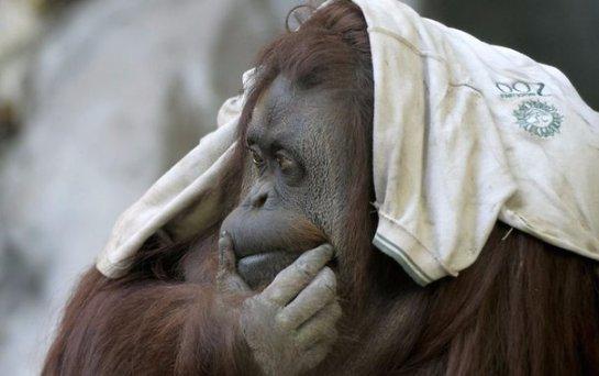 Аргентинский суд признал орангутанга свободной личностью