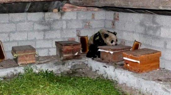 Дикая панда залезла на пасеку