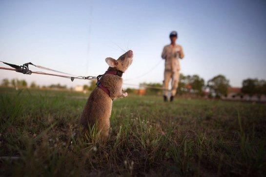 Африканские крысы помогают находить старые мины в Камбодже