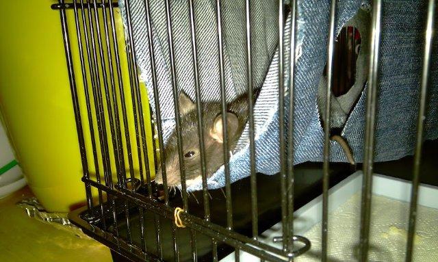 Что нам стоит дом построить: мастерим укрытие для крысы