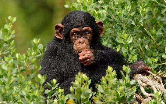 Ученые рассказали, как шимпанзе очищают свой организм