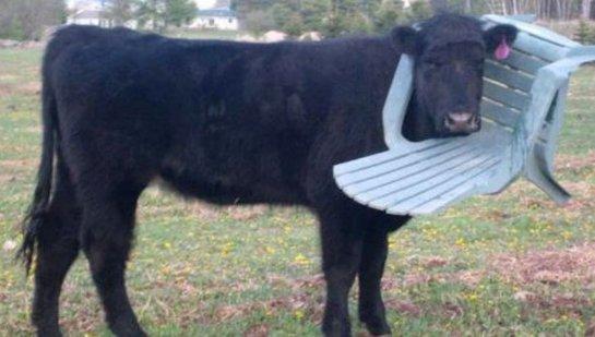 Пожарные спасли корову, которая застряла в пластиковом стуле