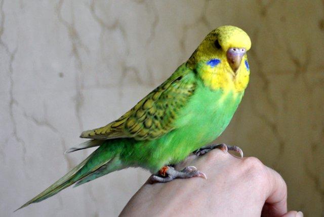 Содержание и уход волнистых попугаев
