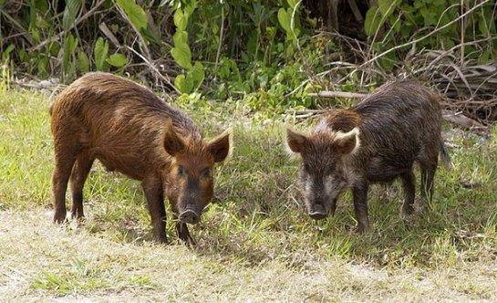 Дикие свиньи оказались чистюлями