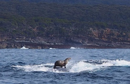Тюлень прокатился на спине горбатого кита