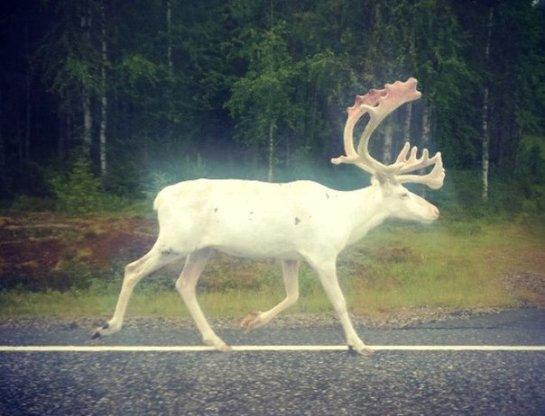 В Финляндии засняли белого лося