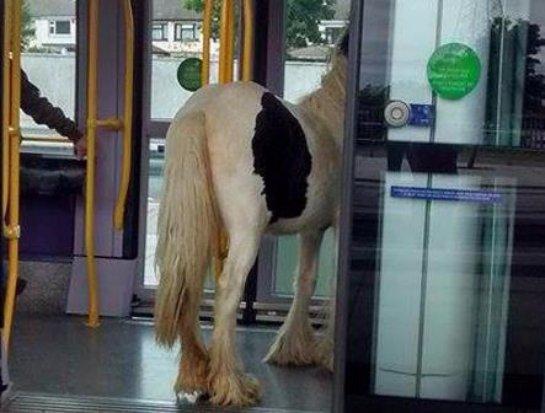Лошадь прокатилась в трамвае