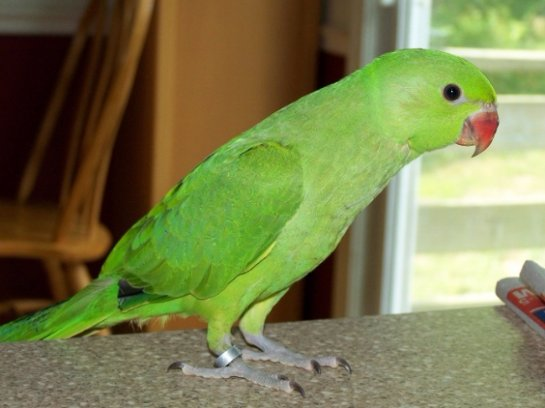 В Индии попугая задержали за оскорбление старушки