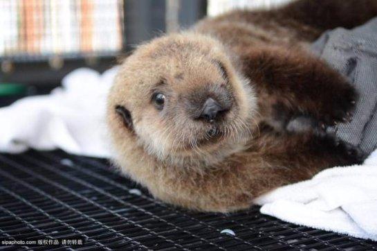 Детеныша морской выдры выкармливают в калифорнийском зоопарке