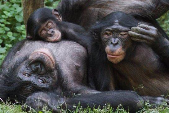 Ученые рассказали  о расшифровке языка жестов шимпанзе