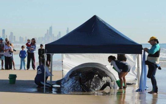 Австралийцы спасли выбросившегося на пляж детеныша кита