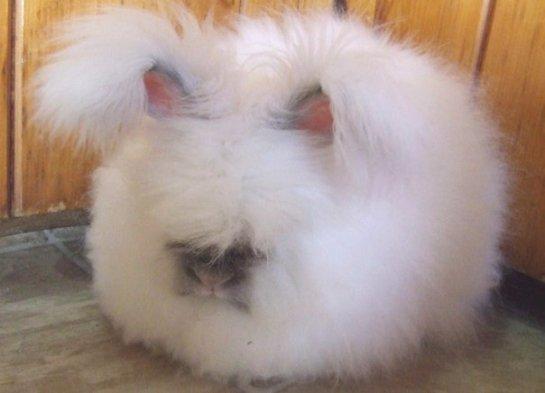 Исследователи рассказали о самых пушистых кроликах