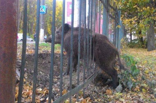 В Мордовии спасли дикого кабана