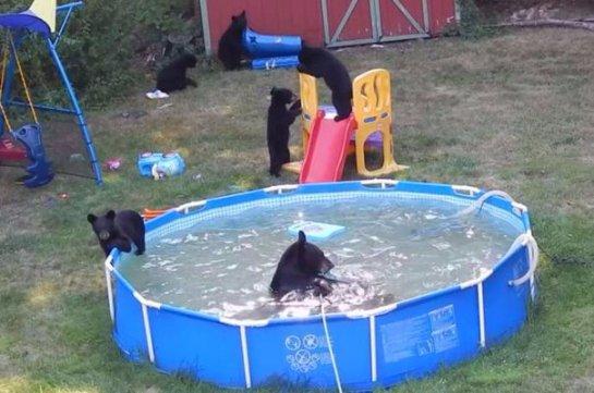 Семейка медведей залезла в дом американцев и искупалась в бассейне