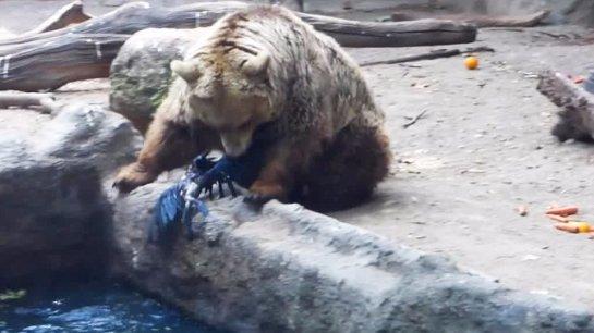 В зоопарке медведь спас ворону