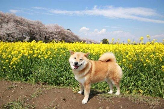 Самый улыбчивый японский пес