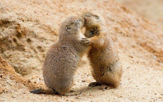 Луговые собачки- очень милые и забавные зверьки