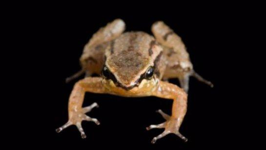 В Эквадоре лягушек спасают от извержения вулкана