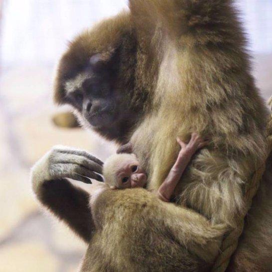 В Ленинградском зоопарке родился белорукий гиббон