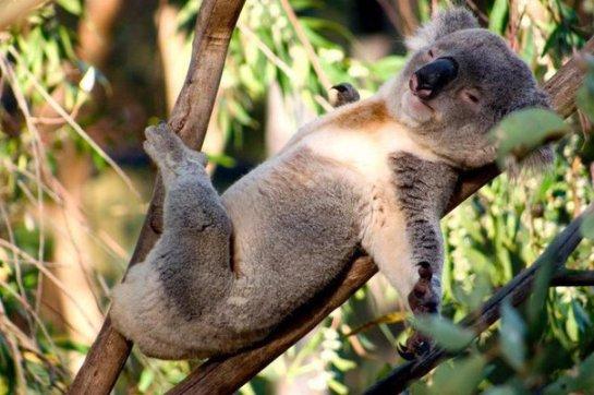 В Австралии спасли коалу, которую сбила машина