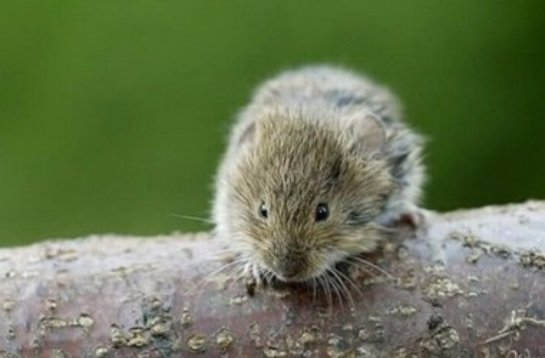Ученые вывели поющих мышей