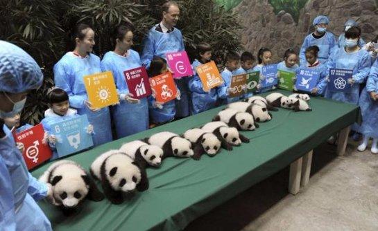 В Китае показали всех рождённых в этом году панд