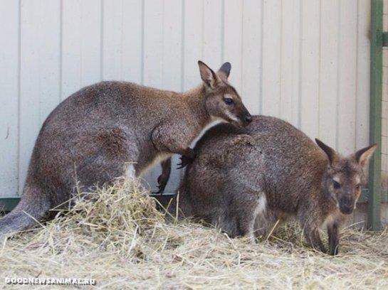 В одном из зоопарков Иркутска родился кенгурёнок