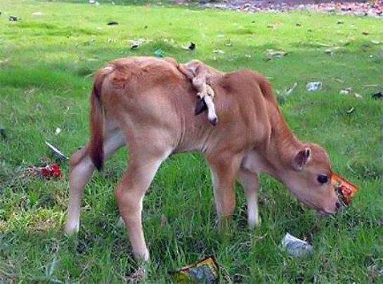 В Иркутской области родился телёнок с шестью ногами