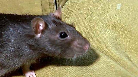 В Челябинске выращивают крысу-сапера