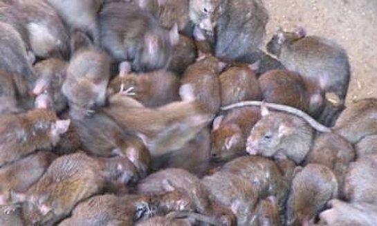 Во Владивостоке крысы атакуют машины