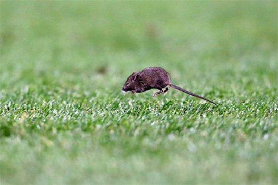 На стадионе «Олд Траффорд» обнаружены мыши