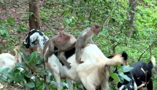Макака помогает пасти коз