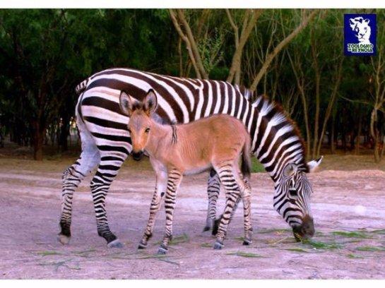В зоопарке родился гибрид осла и зебры