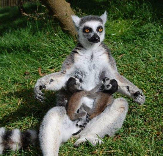 Пополнение лемуров в британском зоопарке