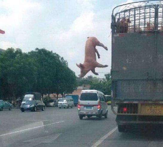 Свиньи сбежали из грузовика