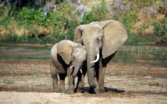 Слоны- очень умные животные