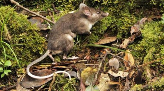 На индонезийском острове обнаружен новый вид крыс