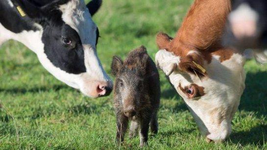 В Германии поросёнок живет среди коров