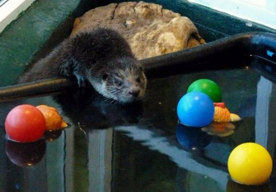 Самец выдры празднует юбилей в Челябинском зоопарке