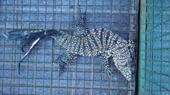 В Аргентине была обнаружена необычная игуана
